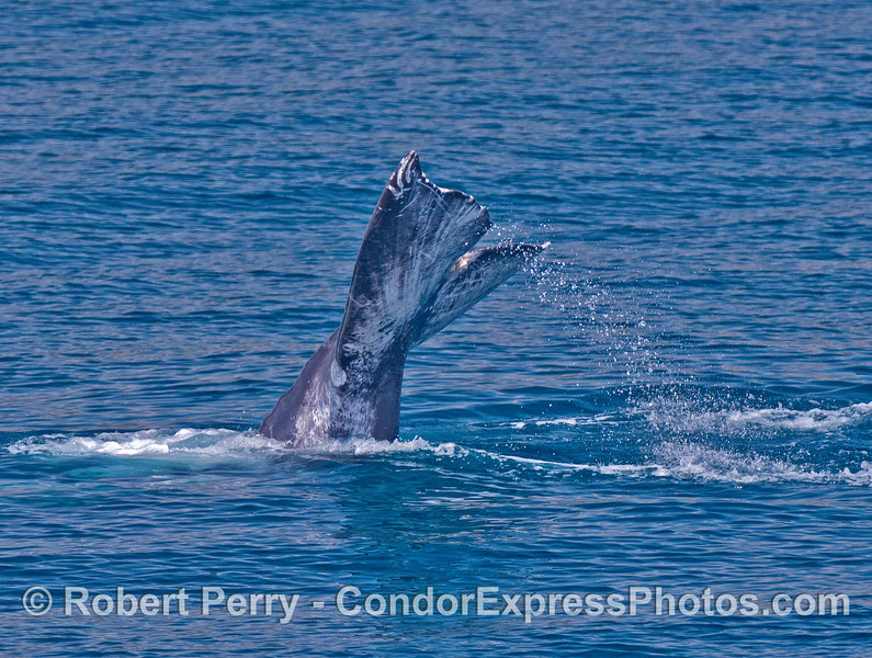 Image 4 of 4:   gray whale tail flukes on a sunny day.