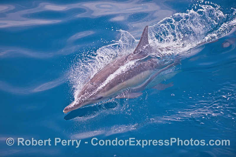 A long-beaked common dolphin cuts the mirror.