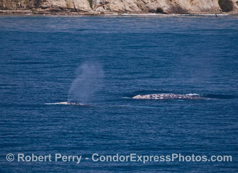 Muliple gray whales cruise the Santa Barbara coastline.