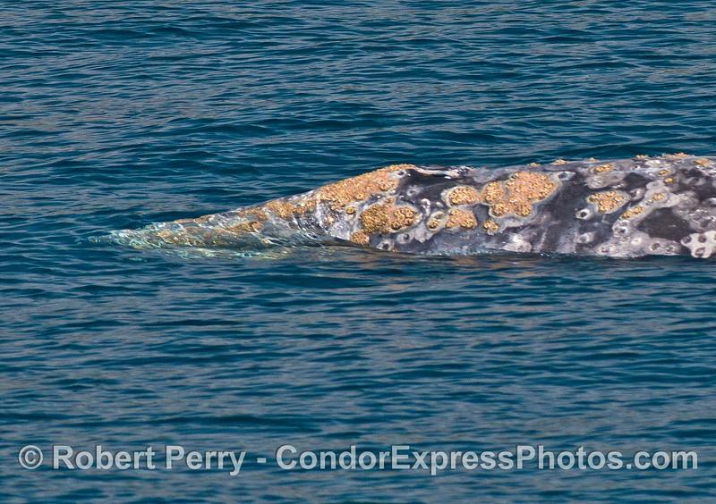 Gray whale portrait.