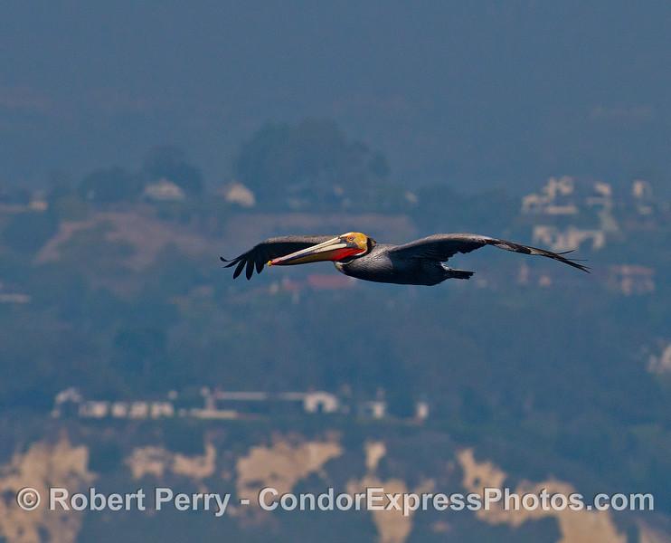 A single brown pelican.