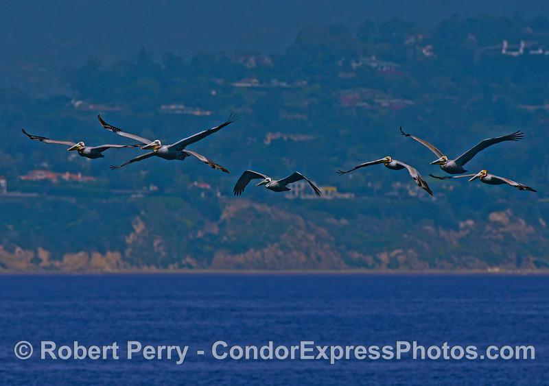 A flock of brown pelicans.