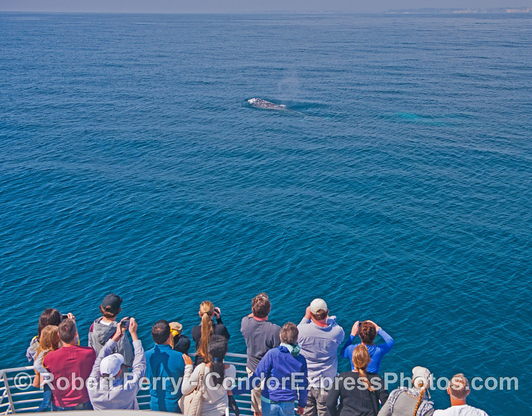 Two friendly gray whales pay a visit to the Condor Express.