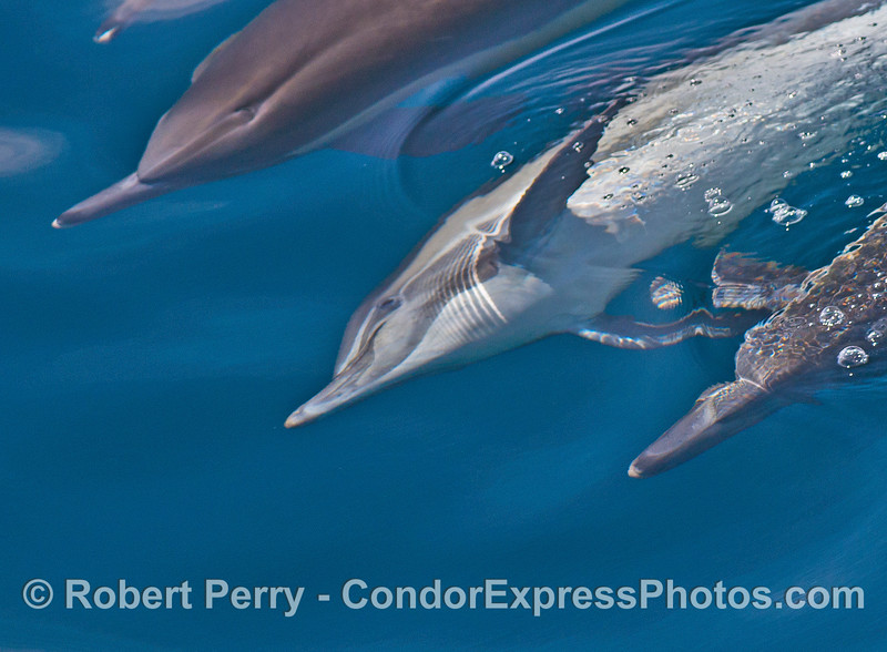 Image 1 of 2:  Long-beaked common dolphins swim sideways and upside down.