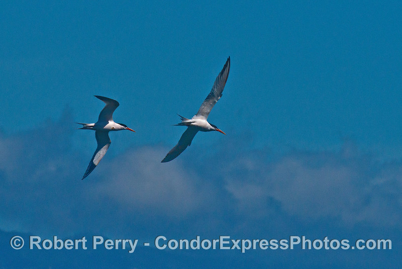 Two elegant terns - aerial combat.