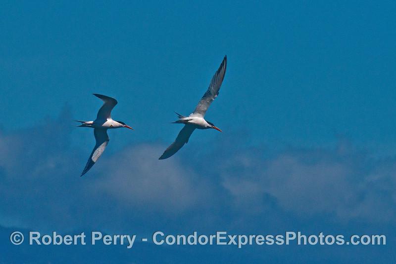 Two elegant terns - aerial combat.