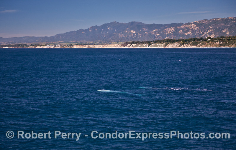 Two gray whales are seen swimming northbound under the clear blue water.  The Santa Barbara Coast (More Mesa) is shown in the background.