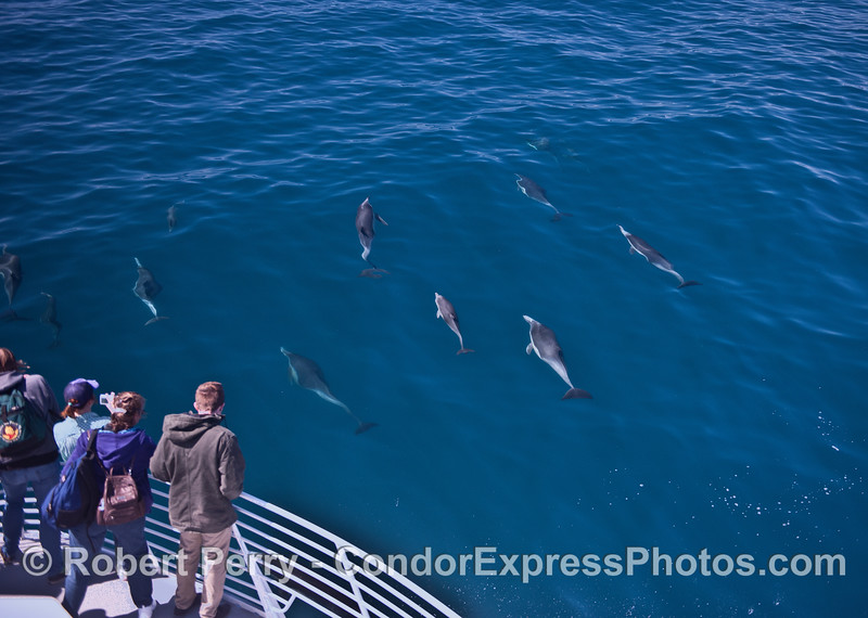 Long-beaked common dolphins and their fan club.