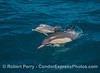 Image 1 of 5:   Mother and calf long-beaked common dolphins.