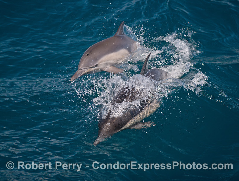 Image 3 of 5:   Mother and calf long-beaked common dolphins.