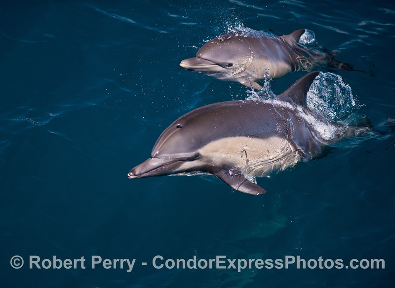Image 2 of 5:   Mother and calf long-beaked common dolphins.