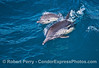 Image 4 of 5:   Mother and calf long-beaked common dolphins.
