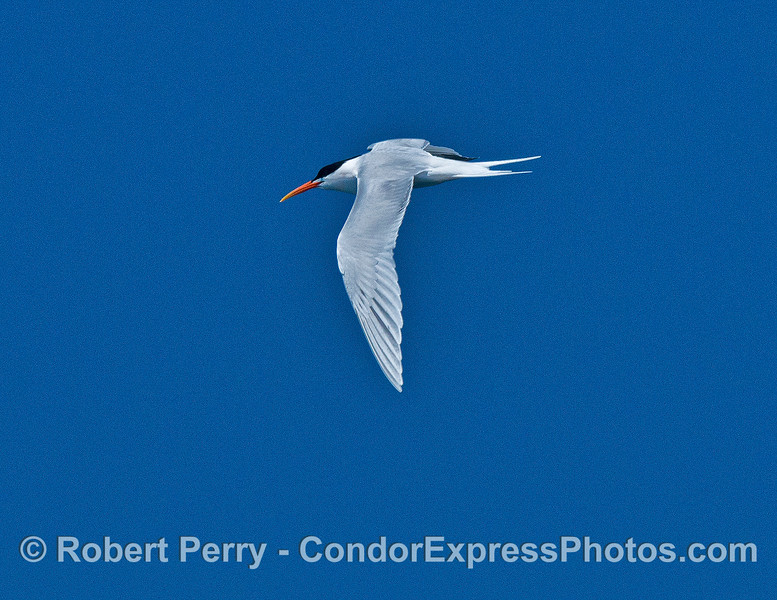 A single elegant tern - in flight.