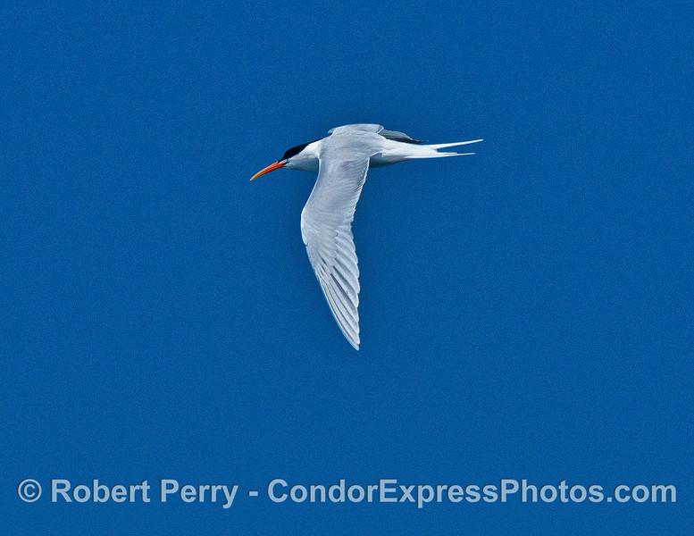 A single elegant tern - in flight.