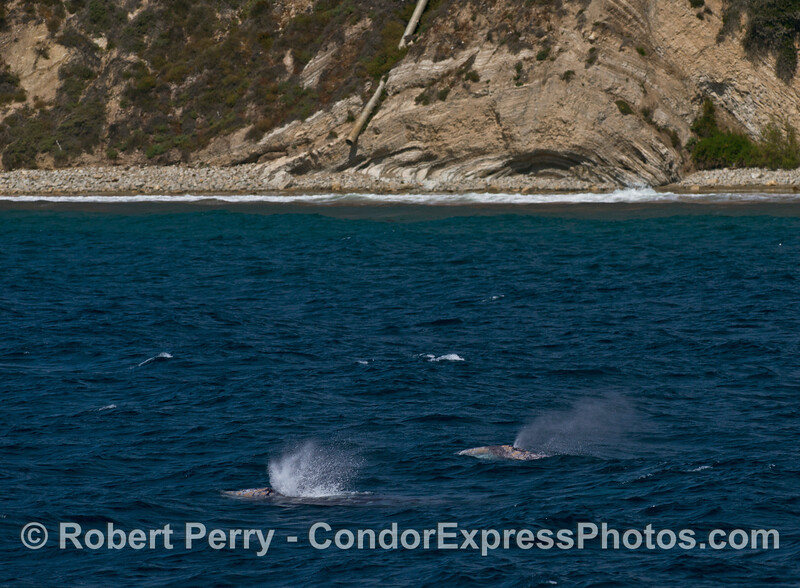 A pair of northbound gray whales near the beach