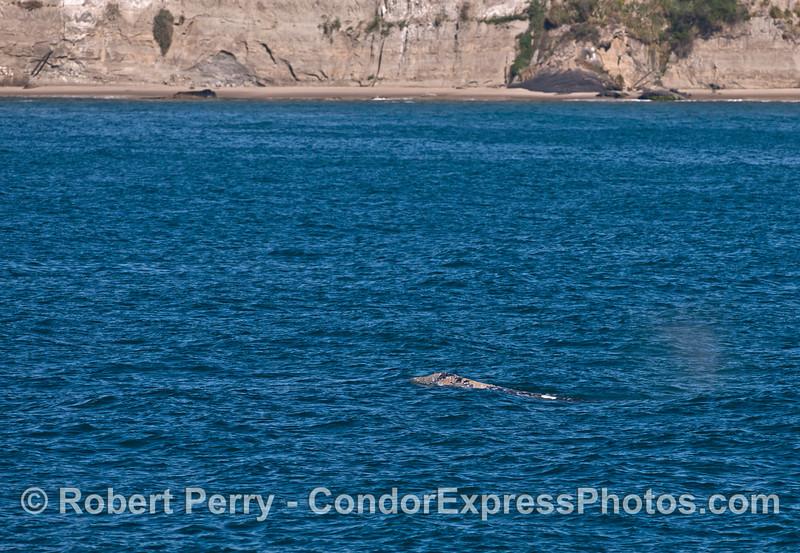 Beachcomber gray whale