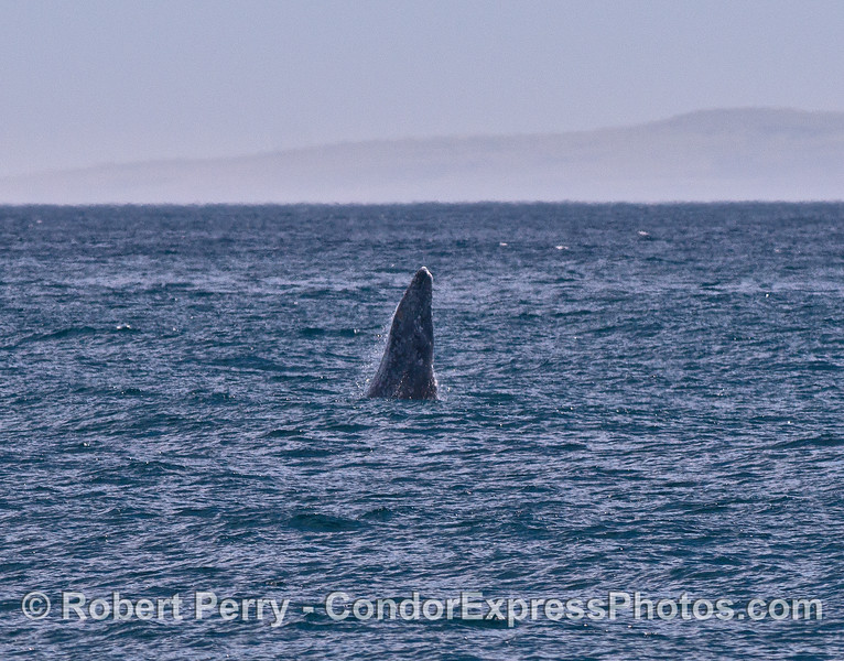 Image 3 of 4: a gray whale breaches in the distance on a windy afternoon.
