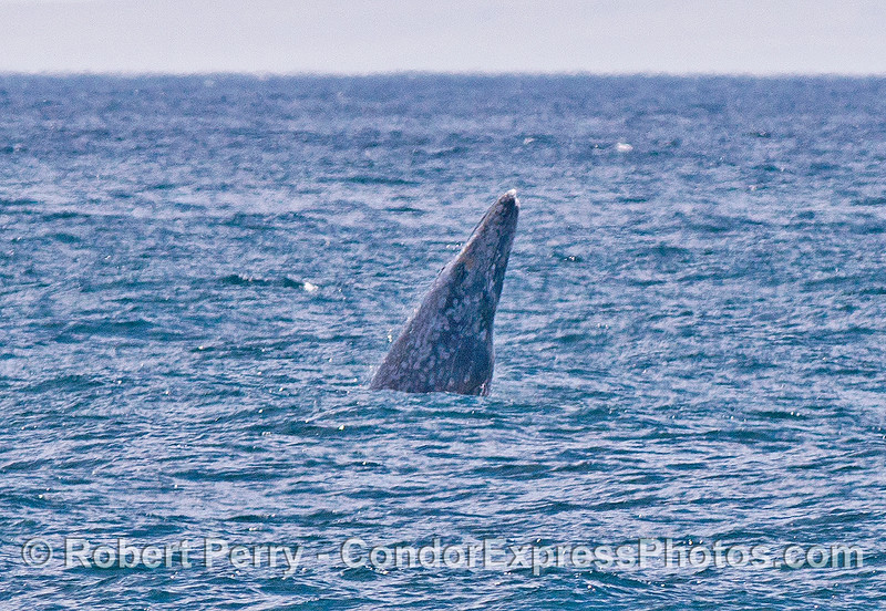 Image 4 of 4: a gray whale breaches in the distance on a windy afternoon.