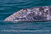 A juvenile gray whale lifts its head just enough to get its eyeball out of the water for a look around the 'hood