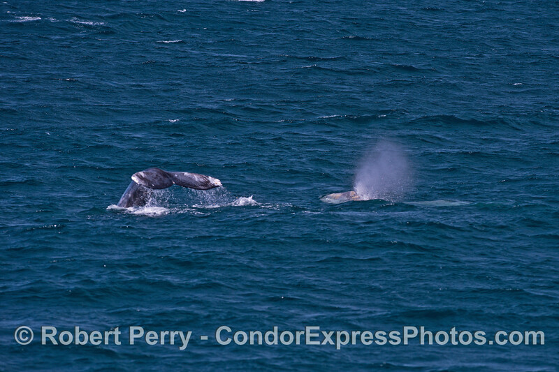 A pair of gray whales...one tail, one head...sounds like flipping a coin!