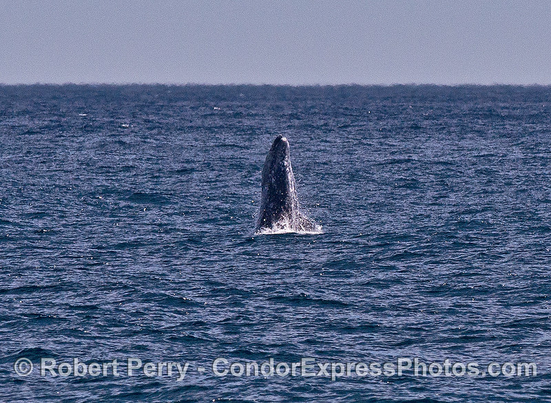 Image 1 of 4: a gray whale breaches in the distance on a windy afternoon.