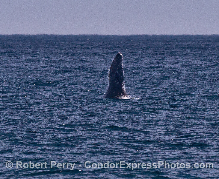 Image 2 of 4: a gray whale breaches in the distance on a windy afternoon.