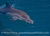 A long-beaked common dolphin