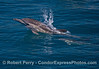 A long-beaked common dolphin mother with her calf (under water)