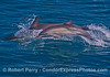A long-beaked common dolphin mother with her calf (leaping)