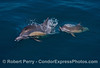 Image 2 of 3 in a row:  A long-beaked common dolphin mother with her calf rise up from the depths to take a breath