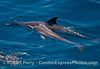 A long-beaked common dolphin mother with her calf