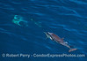 One long-beaked common dolphin swims on top of another