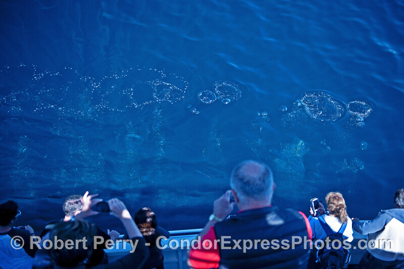 Image 2 of 2:  a bubble curtain rises to the surface next to the boat from a humpback whale