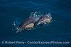 Image 3 of 3 in a row:  A long-beaked common dolphin mother with her calf rise up from the depths to take a breath