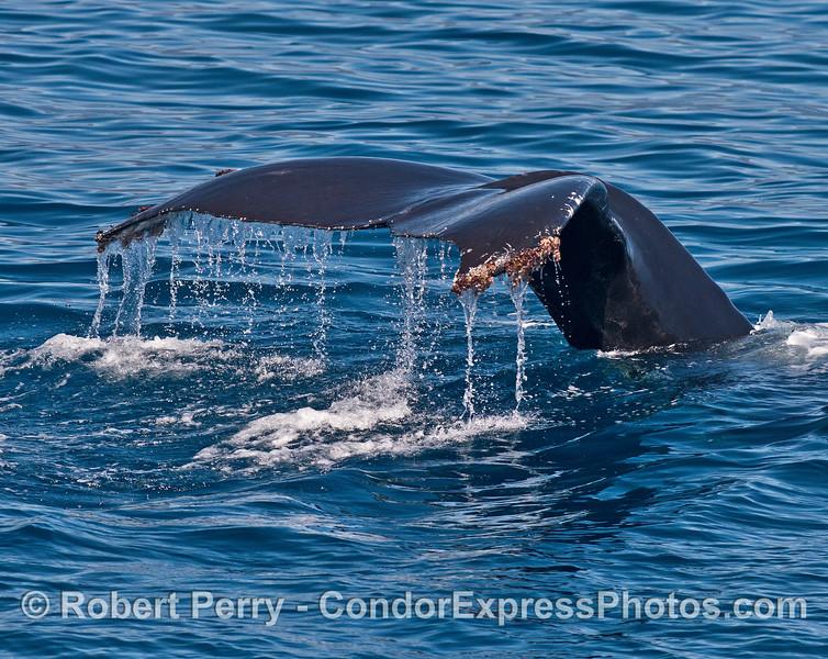 A humpback tail flukes waterfall