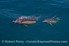Image 1 of 3 in a row:  A long-beaked common dolphin mother with her calf rise up from the depths to take a breath