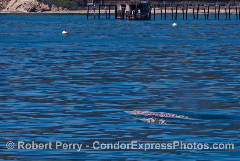Gray whales near the Ellwood Oil Pier.