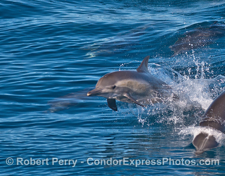 A leaping long-beaked common dolphin calf.