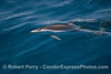 A Pacific white-sided dolphin hunting northern anchovies.