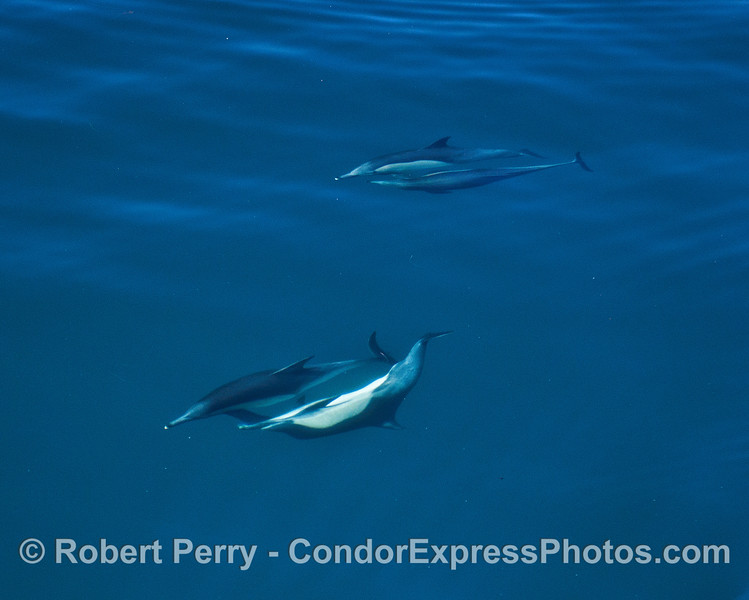 Two pairs of socializing long-beaked common dolphins.