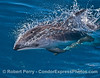 Pacific white-sided dolphin.