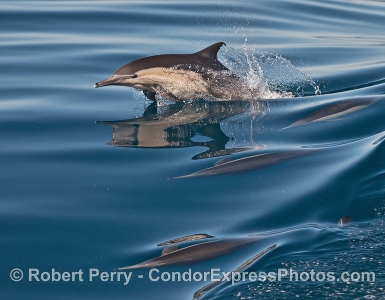 A leaping long-beaked common dolphin and more.