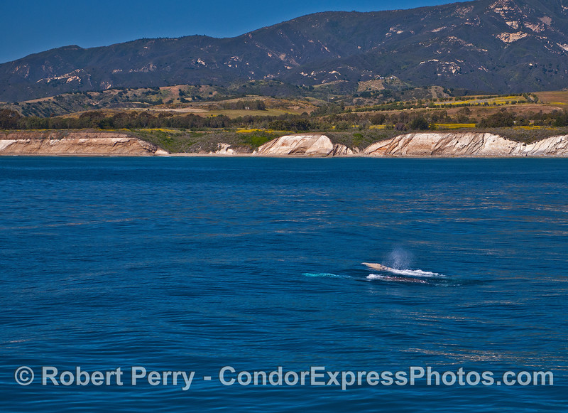 A trio of northbound gray whales past Ellwood.