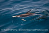 Pacific white-sided dolphins hunting northern anchovies.