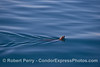 A California sea lion and ripples on the pond.