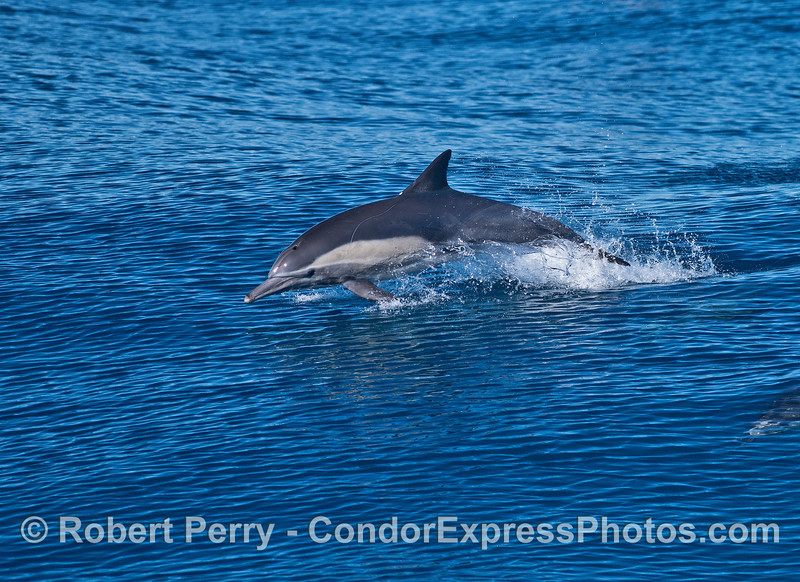 An adult long-beaked common dolphin leaps