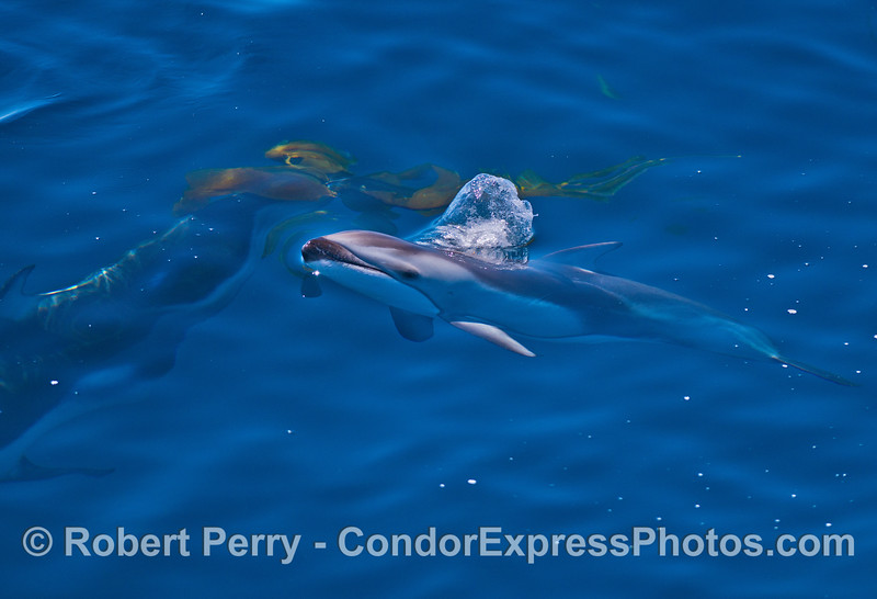 Image 2 of 2:  A Pacific white-sided dolphin near a giant kelp stipe.