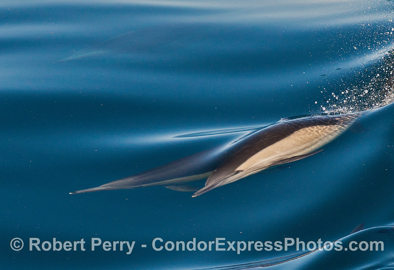 Two long-beaked common dolphins dance with the mirror.