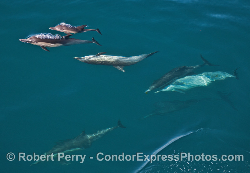 A wide-angle view of a portion of a long-beaked common dolphin pod