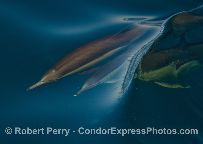 A clear blue ripple passes across the backs of two  long-beaked common dolphins